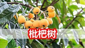 枇杷树能够在自家院子中种植吗