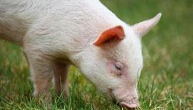 属猪的人血型不同影响一生的运势