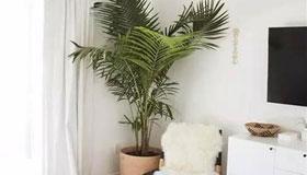 散尾葵摆放在客厅究竟有什么好处