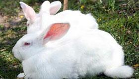 农历九月出生的属兔人运程如何