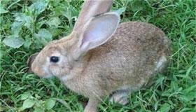 农历三月出生的属兔人命运