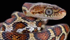 农历正月出生的属蛇人命运