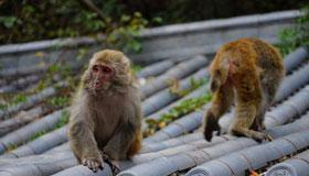 农历十月份出生的属猴人运势