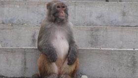 农历3月份出生的属猴人命运