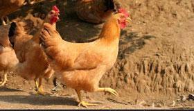 农历12月份出生的属鸡人运程