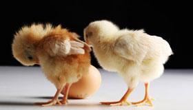 农历9月出生的属鸡人运势