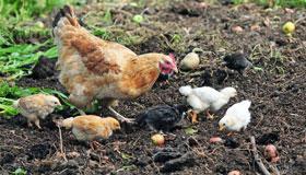 农历十一月份岀生的属鸡人运势