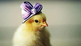 农历十月出生的属鸡人运势如何