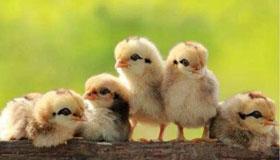 农历2月份出生的属鸡人运势