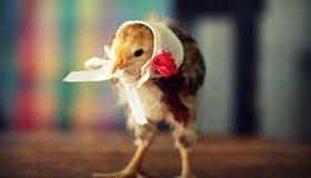 农历4月份出生的属鸡人运势