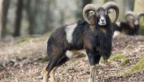 农历十月份出生的属羊人运程如何