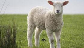 农历9月出生的属羊人命运