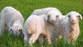 农历4月份出生的属羊人运势