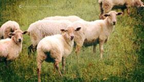 农历12月出生的属羊人运势
