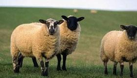 农历七月出生的属羊人命运如何