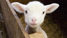 农历3月出生的属羊人命运如何