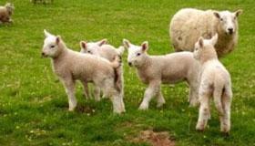 农历五月出生的属羊人命运