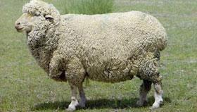 农历八月出生的属羊人命运