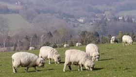 农历十一月出生的属羊人命运