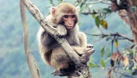 农历一月出生的属猴人命运