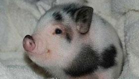 农历正月出生的属猪人命运