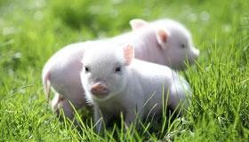 农历3月出生的属猪人运程