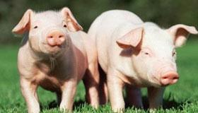 农历七月出生的属猪人命运