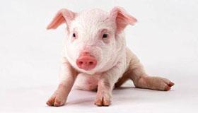 农历九月出生的属猪人命运