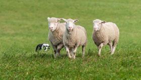 1979年出生的42岁属羊人2021年运势