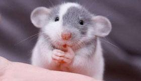 生辰八字算命之属鼠人的命运