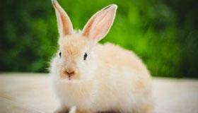 生辰八字算命之属兔人的命运