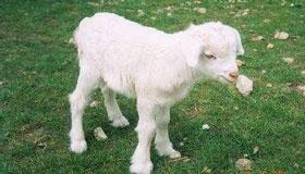 生辰八字算命之属羊人的命运