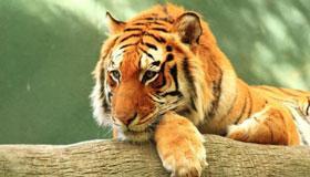 春天出生的属虎人命运分析