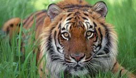 夏天出生的属虎人命运分析