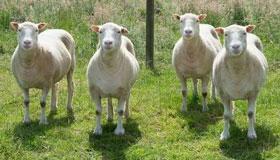 属羊男一生的命运和婚姻介绍