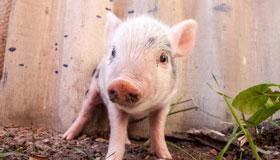 2007年属猪男孩的学业运程