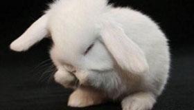 属兔人的爱情软肋与恋爱原则