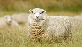 属羊人的爱情软肋与恋爱原则