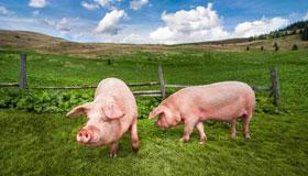 属猪人的爱情软肋与恋爱原则