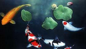 属猪和属鼠人养风水鱼的数量适合养几条
