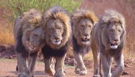 昨晚做梦到一群狮子围着自己代表了什么