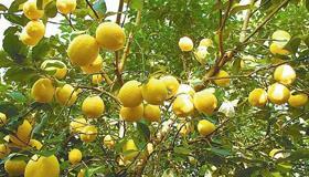 种一棵柠檬树放客厅影响到的风水好吗