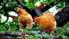 做梦梦到鸡站在树上是什么寓意呢