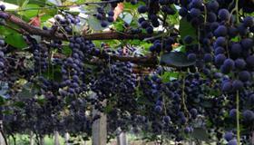 孕妇梦到树上很多葡萄是什么意思
