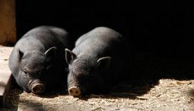 做梦梦见大黑猪好不好有什么预兆呢