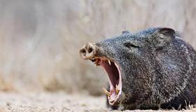 梦见野猪是什么意思呢