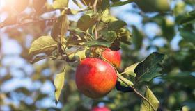 梦见一棵大苹果树预示着什么呢