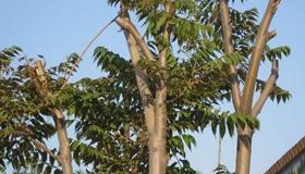 梦到椿树是什么意思呢