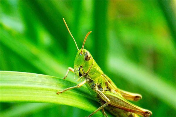 梦见蝗虫爬到自己身上什么意思