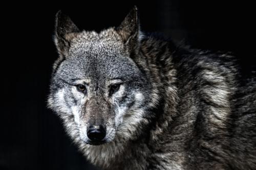 为什么卧室里面不能挂凶猛动物的画像?